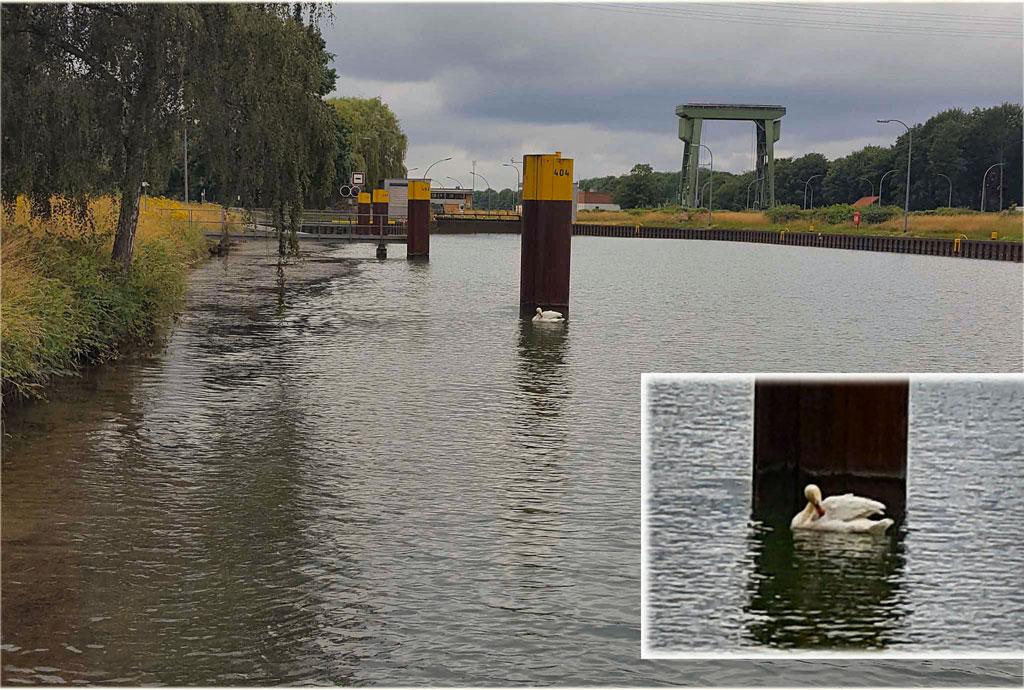 Schwan im Kanal Schleuse Hünxe