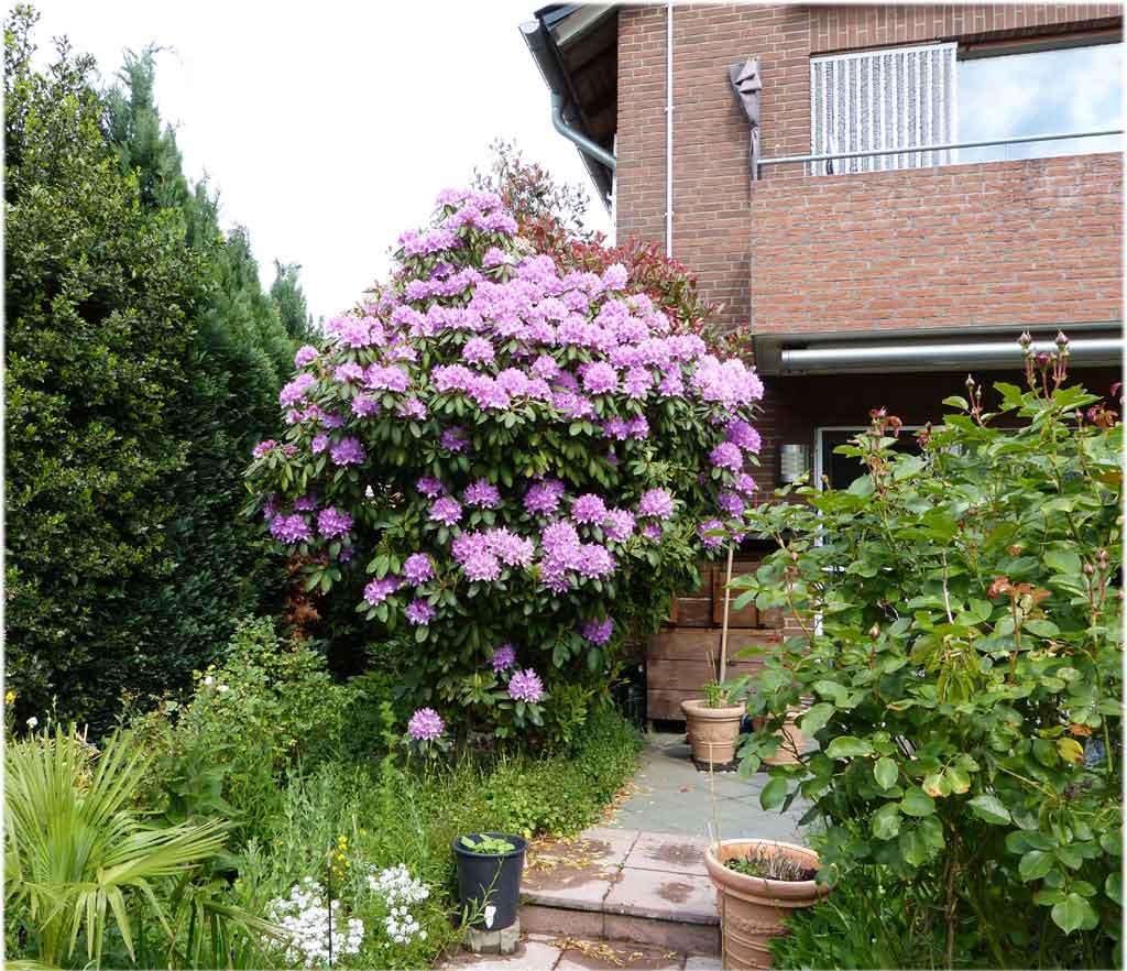 Rhododendron auf der Terrasse