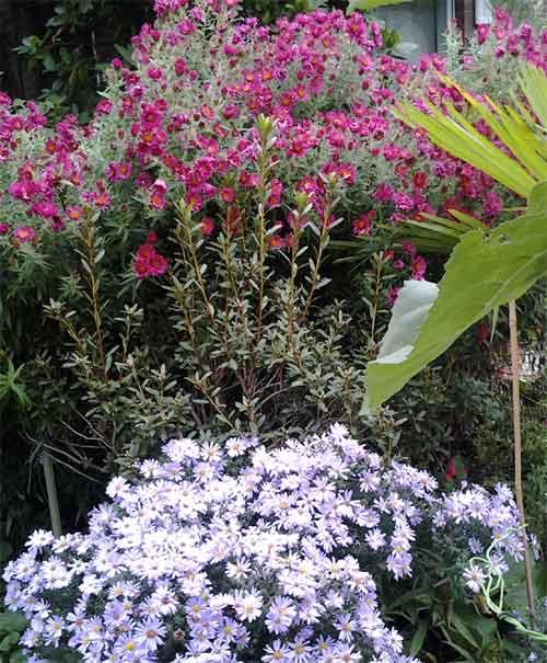 Astern Gartenblumen im Oktober