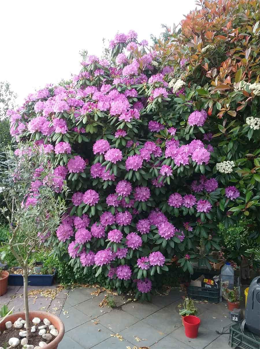 Gartenarbeit der Rhododendron 2018