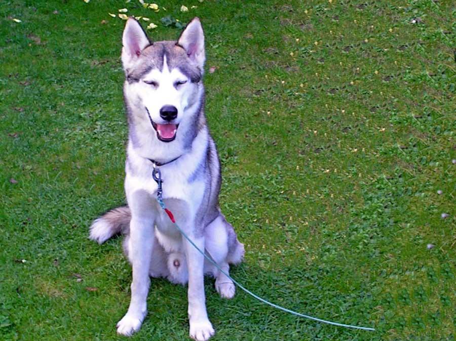 Wachhund Husky