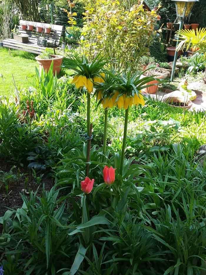 Gartenarbeit, eine Kaiserkrone in gelb