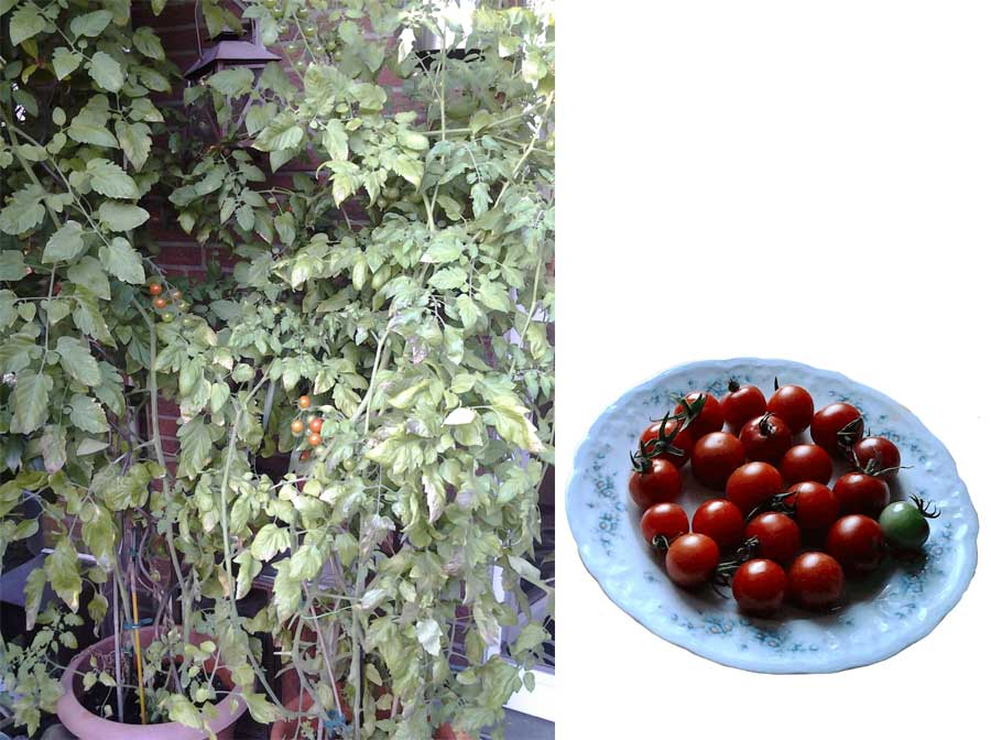 Gartenfreunde Snack-Tomaten
