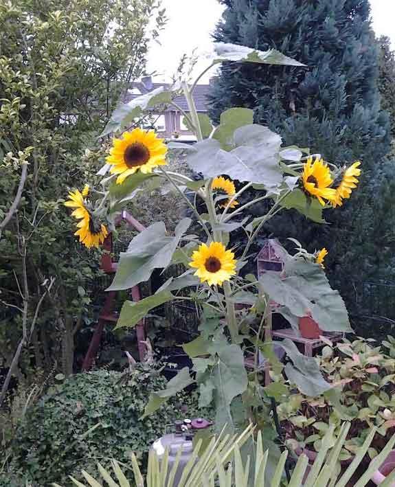 Sonnenblumen im Schrebergarten